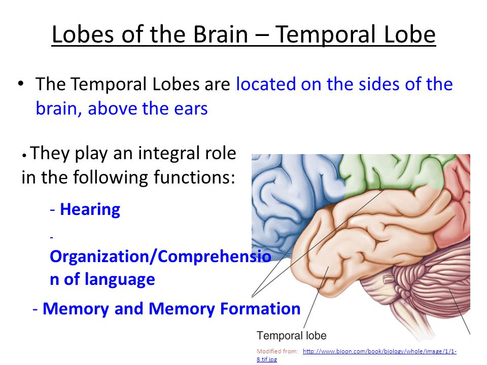 Lobes of the Brain – Temporal Lobe The Temporal Lobes are located on the sides of the brain, above the ears They play an integral role in the following functions: - Hearing - Organization/Comprehensio n of language - Memory and Memory Formation Modified from: http://www.bioon.com/book/biology/whole/image/1/1- 8.tif.jpghttp://www.bioon.com/book/biology/whole/image/1/1- 8.tif.jpg