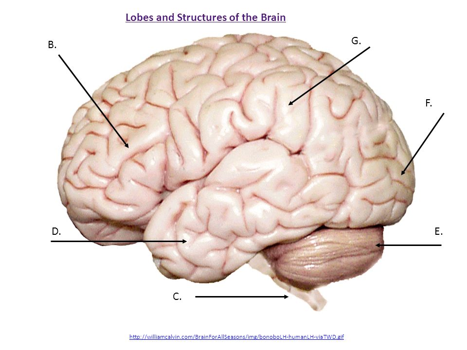 Lobes and Structures of the Brain B. D.E. F. G.