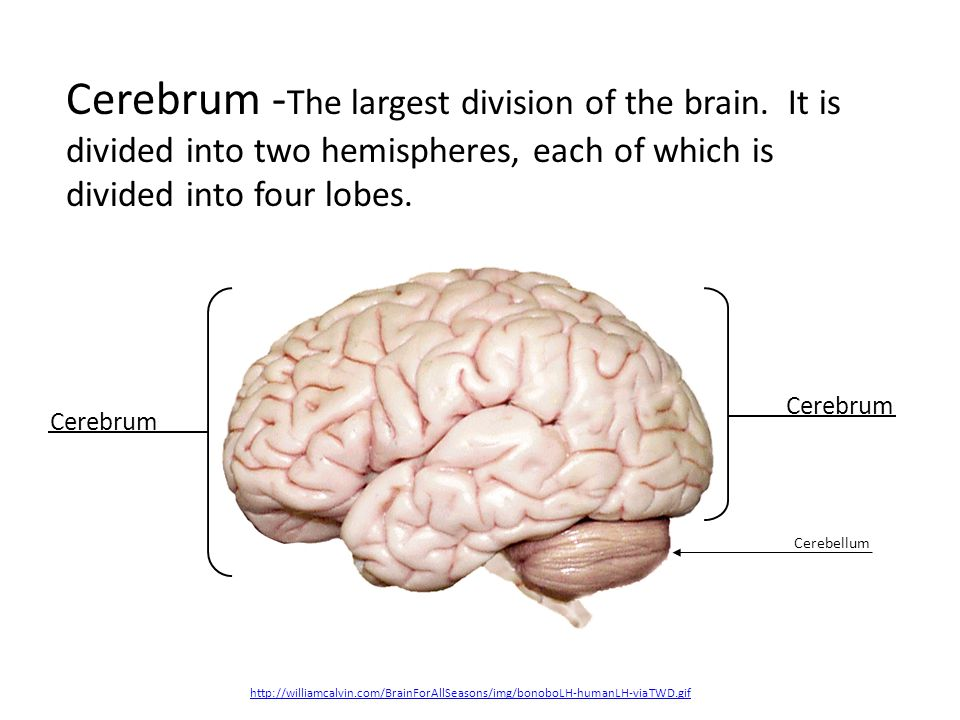 The cerebellum is located just above the brain stem and toward the back of the brain.