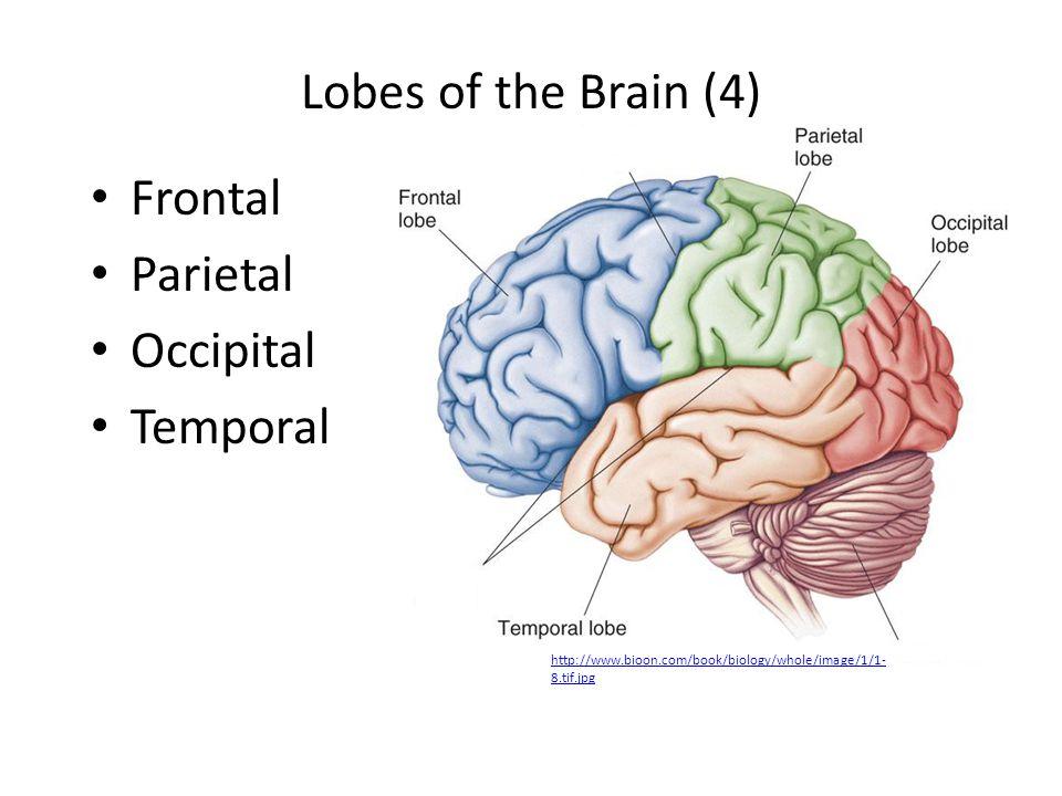 3. ____________ This region is responsible for balance Cerebellum
