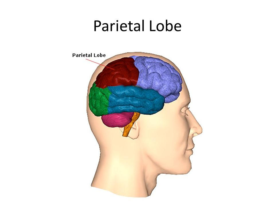 Lobes of the Brain - Parietal Lobe The Parietal Lobe of the brain is located behind the Frontal lobe, but in front of the Occipital lobe It plays a major role in the following functions/actions: -sensory information and cognition (Experiencing taste, smell, touch, pain, temperature, etc.