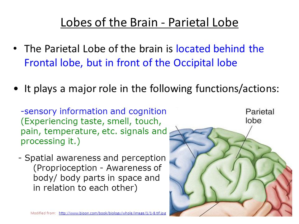 7. ____________ This lobe is the most lateral part of the brain Temporal