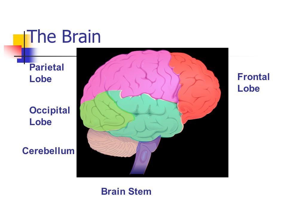 The Brain Parietal Lobe Frontal Lobe Occipital Lobe Cerebellum Brain Stem