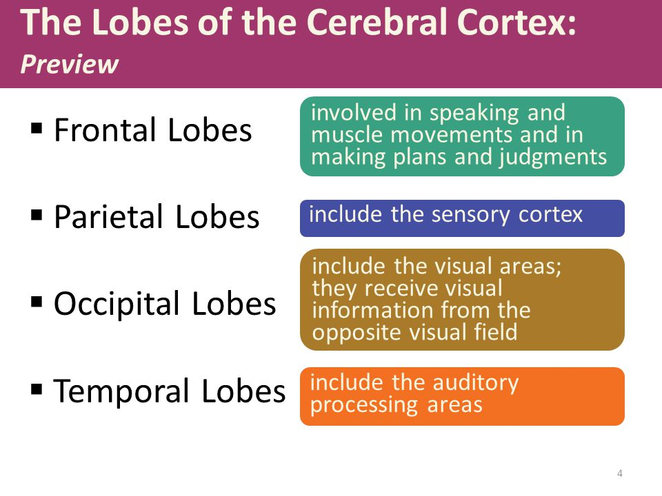 4 The Lobes of the Cerebral Cortex: Preview  Frontal Lobes  Parietal Lobes  Occipital Lobes  Temporal Lobes involved in speaking and muscle movements and in making plans and judgments include the sensory cortex include the visual areas; they receive visual information from the opposite visual field include the auditory processing areas