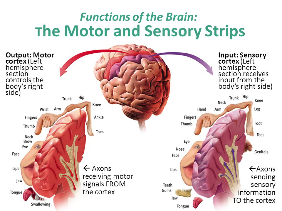 Input: Sensory cortex (Left hemisphere section receives input from the body's right side) Output: Motor cortex (Left hemisphere section controls the body's right side) Functions of the Brain: T he Motor and Sensory Strips  Axons receiving motor signals FROM the cortex  Axons sending sensory information TO the cortex