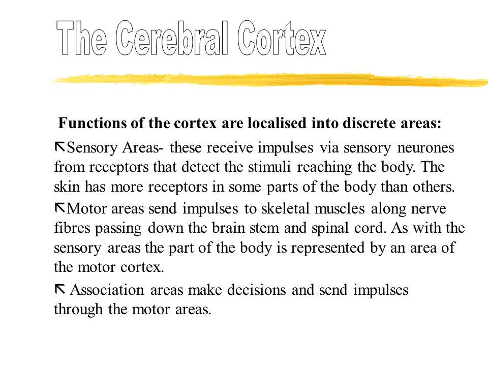 Functions of the cortex are localised into discrete areas:  Sensory Areas- these receive impulses via sensory neurones from receptors that detect the stimuli reaching the body.