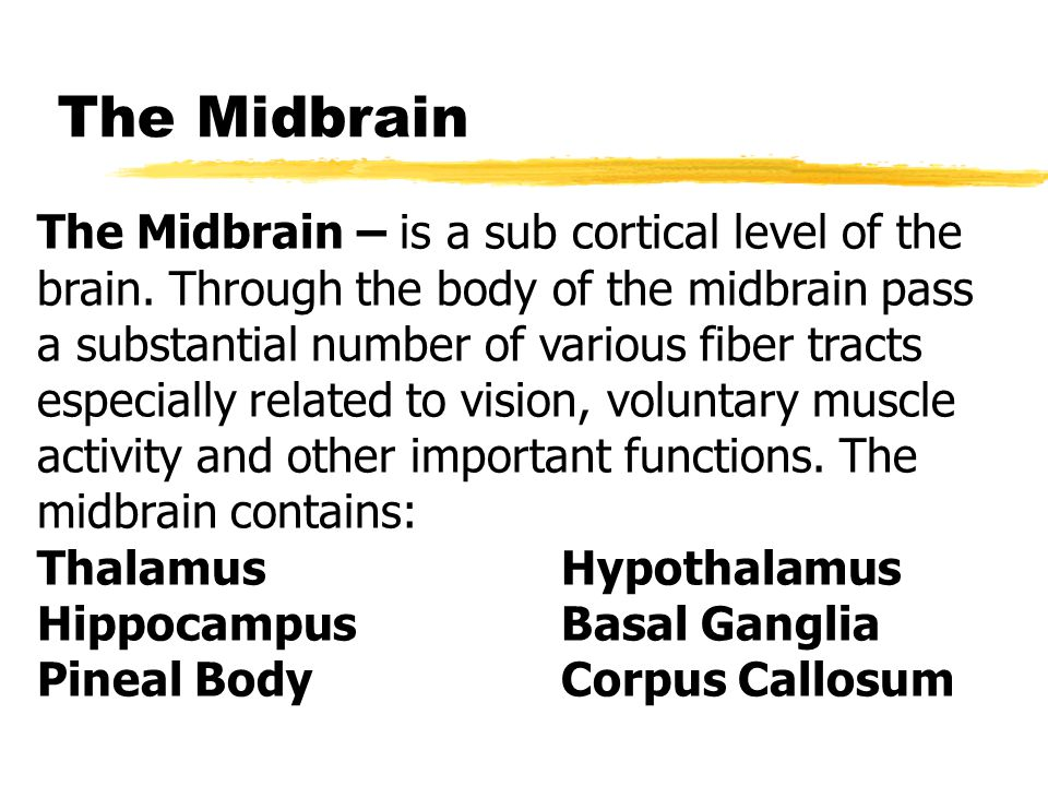 The Midbrain The Midbrain – is a sub cortical level of the brain.