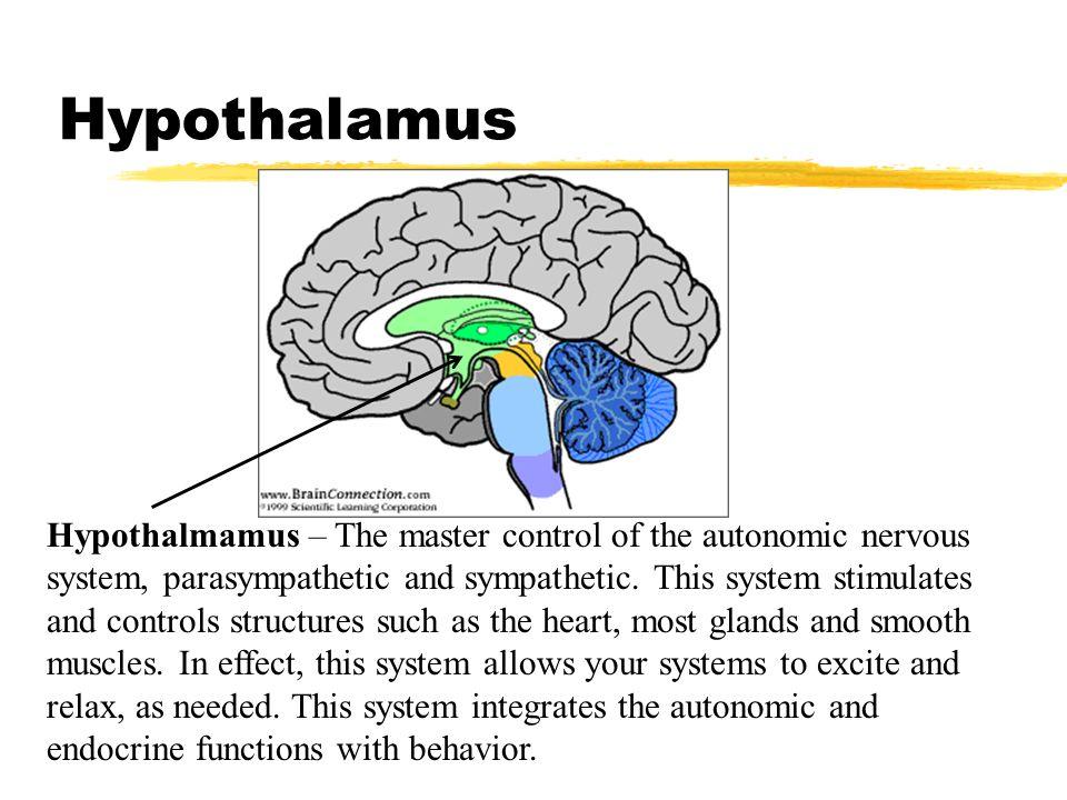 Hypothalamus Hypothalmamus – The master control of the autonomic nervous system, parasympathetic and sympathetic. This system stimulates and controls