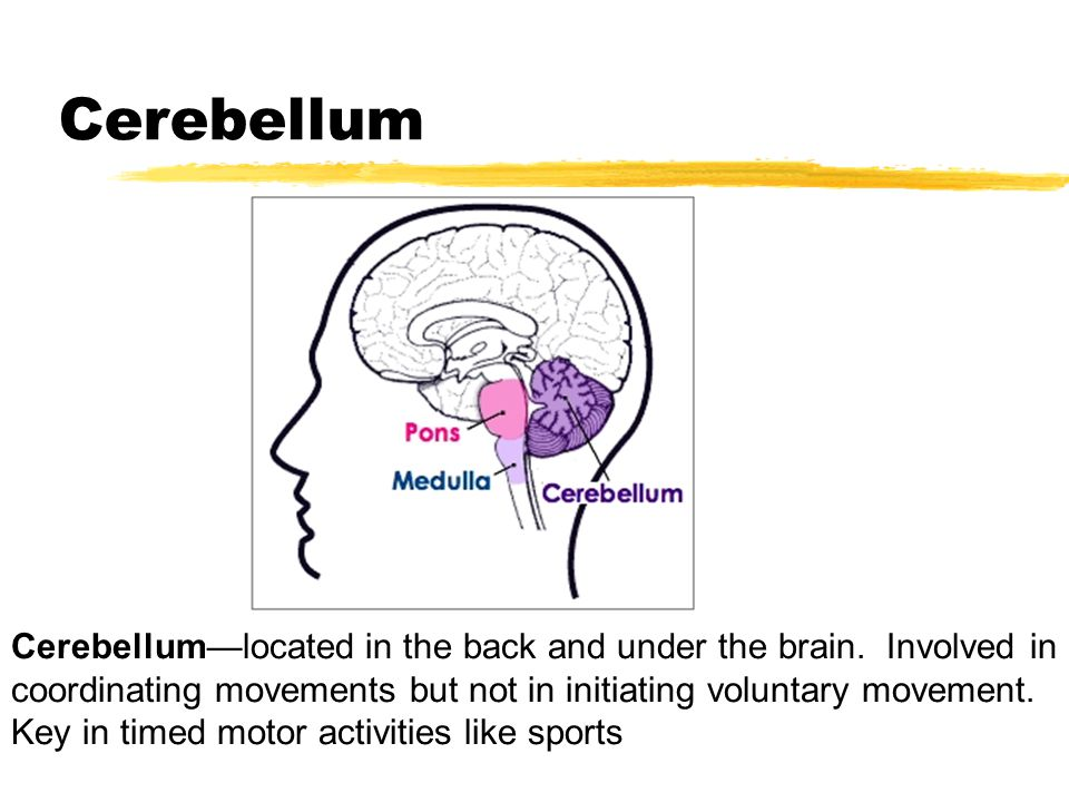 Cerebellum Cerebellum—located in the back and under the brain. Involved in coordinating movements but not in initiating voluntary movement. Key in tim