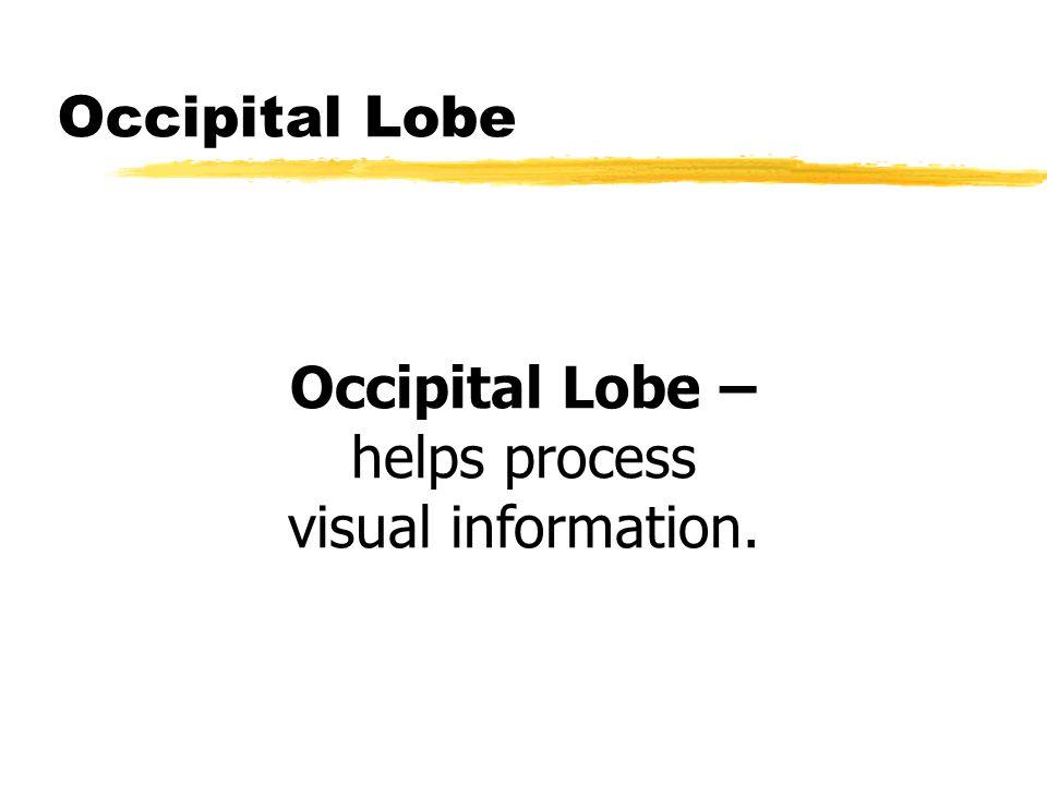 Occipital Lobe Occipital Lobe – helps process visual information.