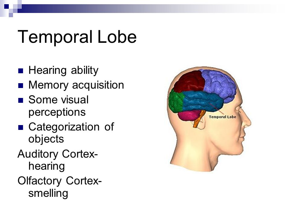 Temporal Lobe Hearing ability Memory acquisition Some visual perceptions Categorization of objects Auditory Cortex- hearing Olfactory Cortex- smelling
