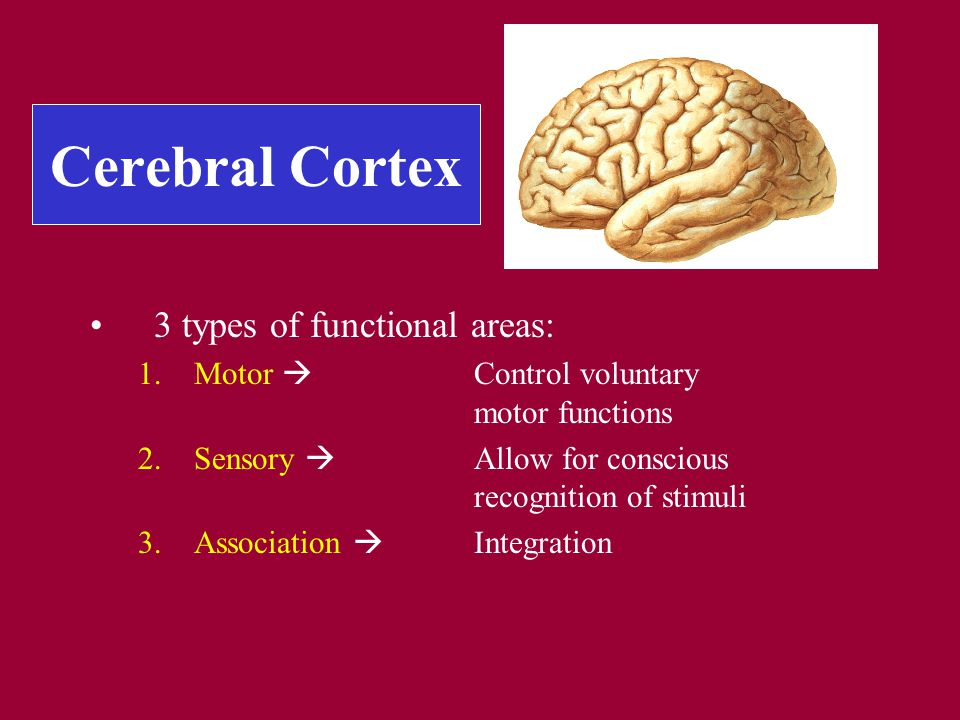 Cerebral Cortex 3 types of functional areas: 1.Motor  Control voluntary motor functions 2.Sensory  Allow for conscious recognition of stimuli 3.Association  Integration