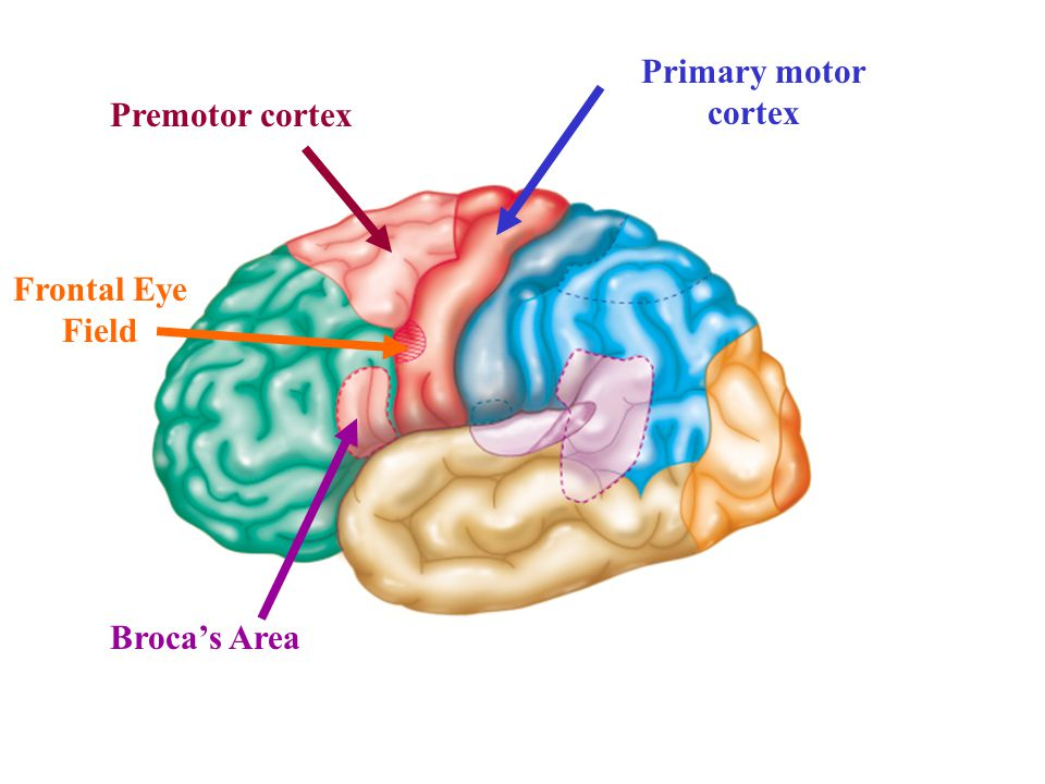 Primary motor cortex Broca's Area Premotor cortex Frontal Eye Field