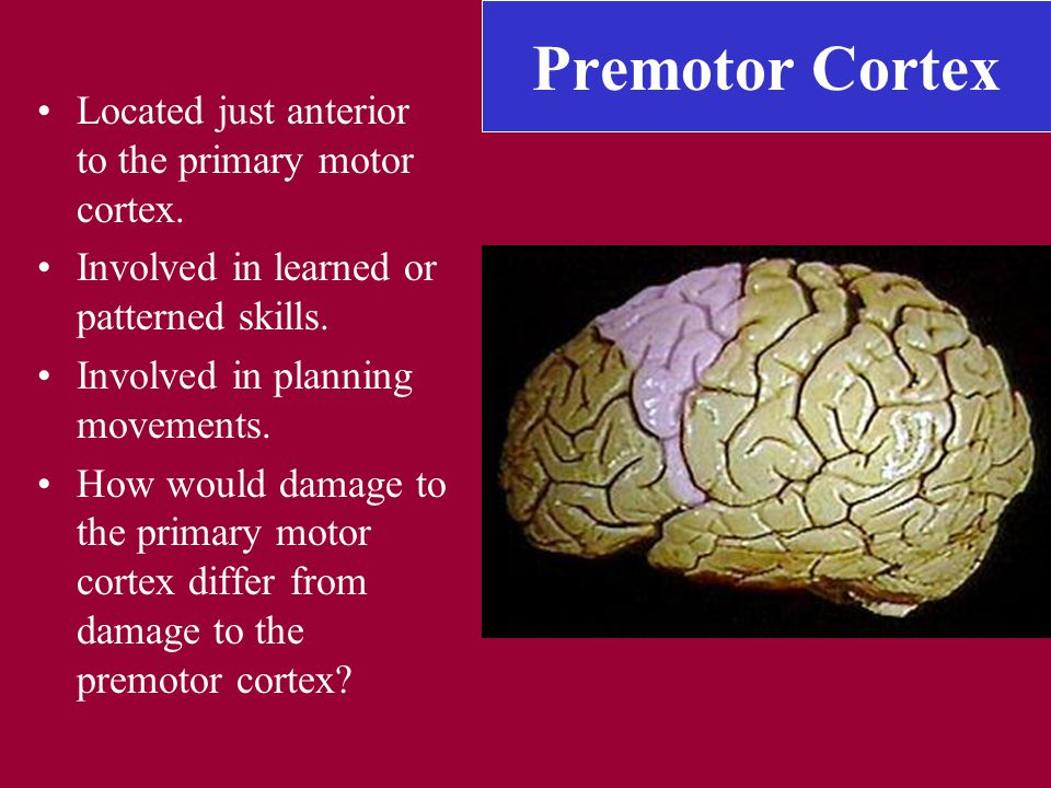 Premotor Cortex Located just anterior to the primary motor cortex. Involved in learned or patterned skills. Involved in planning movements. How would