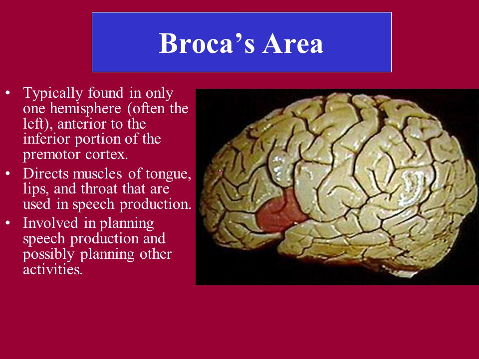 Broca's Area Typically found in only one hemisphere (often the left), anterior to the inferior portion of the premotor cortex.