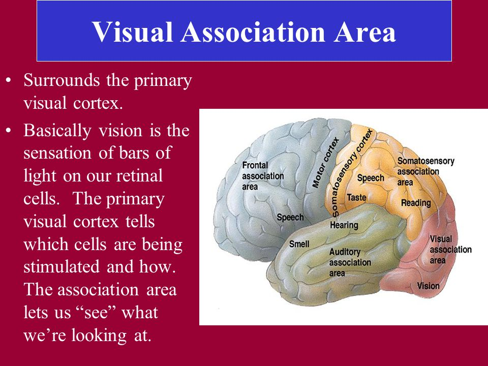 Visual Association Area Surrounds the primary visual cortex.