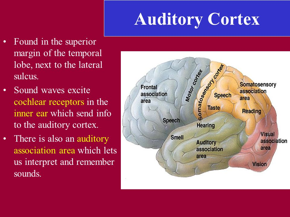 Auditory Cortex Found in the superior margin of the temporal lobe, next to the lateral sulcus.