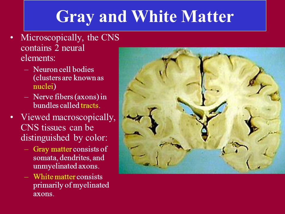 Gray and White Matter Microscopically, the CNS contains 2 neural elements: –Neuron cell bodies (clusters are known as nuclei) –Nerve fibers (axons) in bundles called tracts.