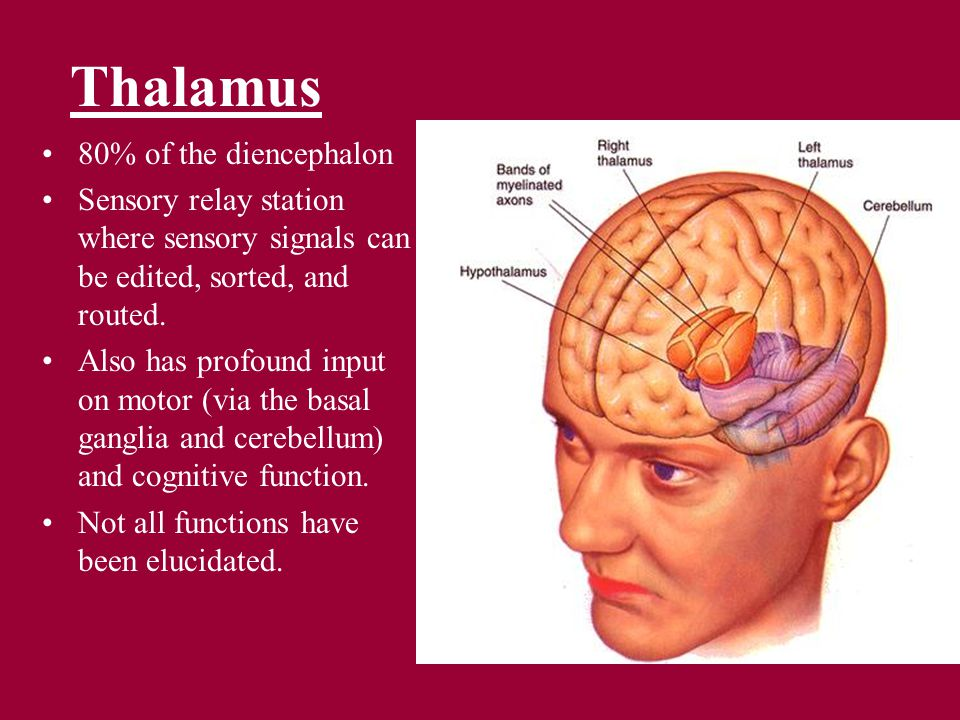 Thalamus 80% of the diencephalon Sensory relay station where sensory signals can be edited, sorted, and routed.