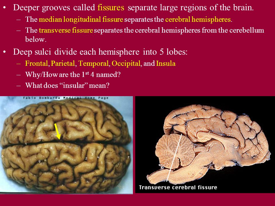 Deeper grooves called fissures separate large regions of the brain.