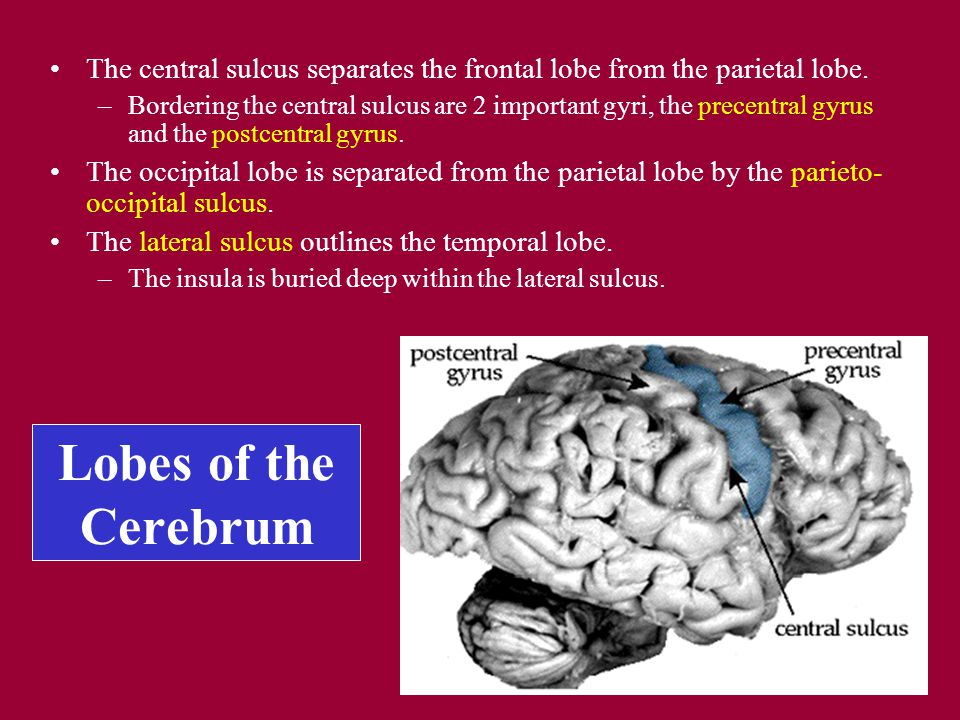 Lobes of the Cerebrum The central sulcus separates the frontal lobe from the parietal lobe.
