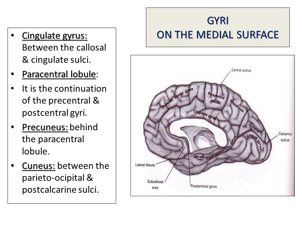 GYRI ON THE MEDIAL SURFACE Cingulate gyrus: Cingulate gyrus: Between the callosal & cingulate sulci.