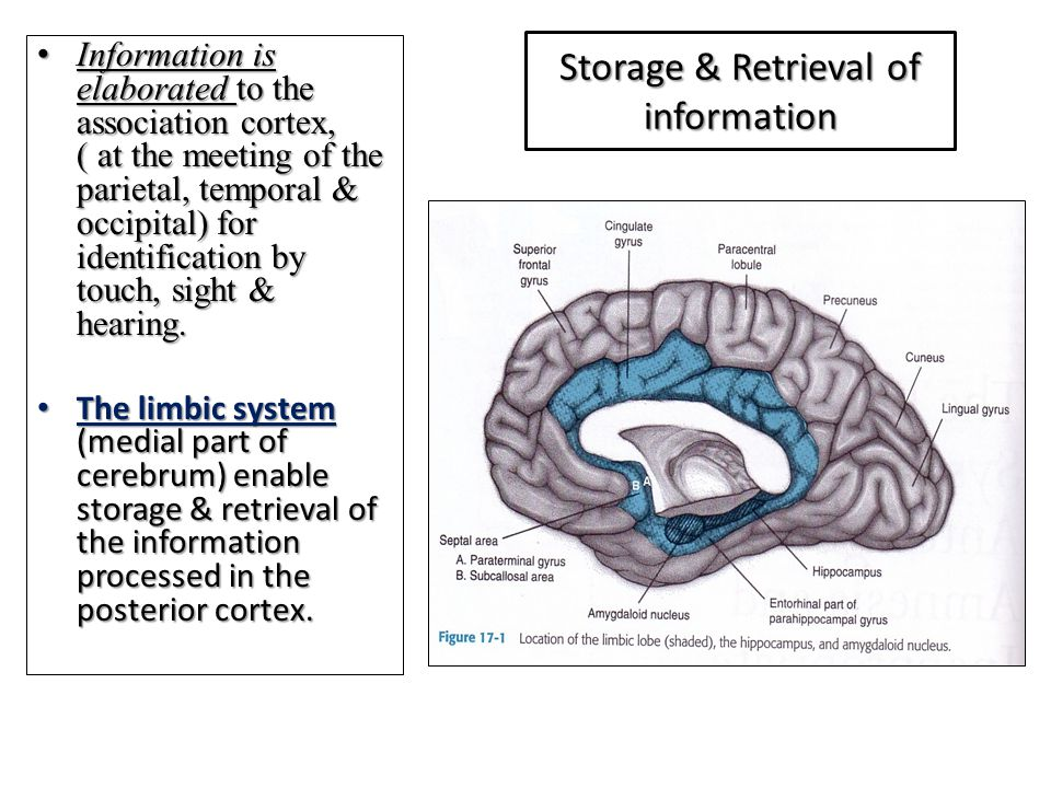 Storage & Retrieval of information Information is elaborated to the association cortex, ( at the meeting of the parietal, temporal & occipital) for identification by touch, sight & hearing.