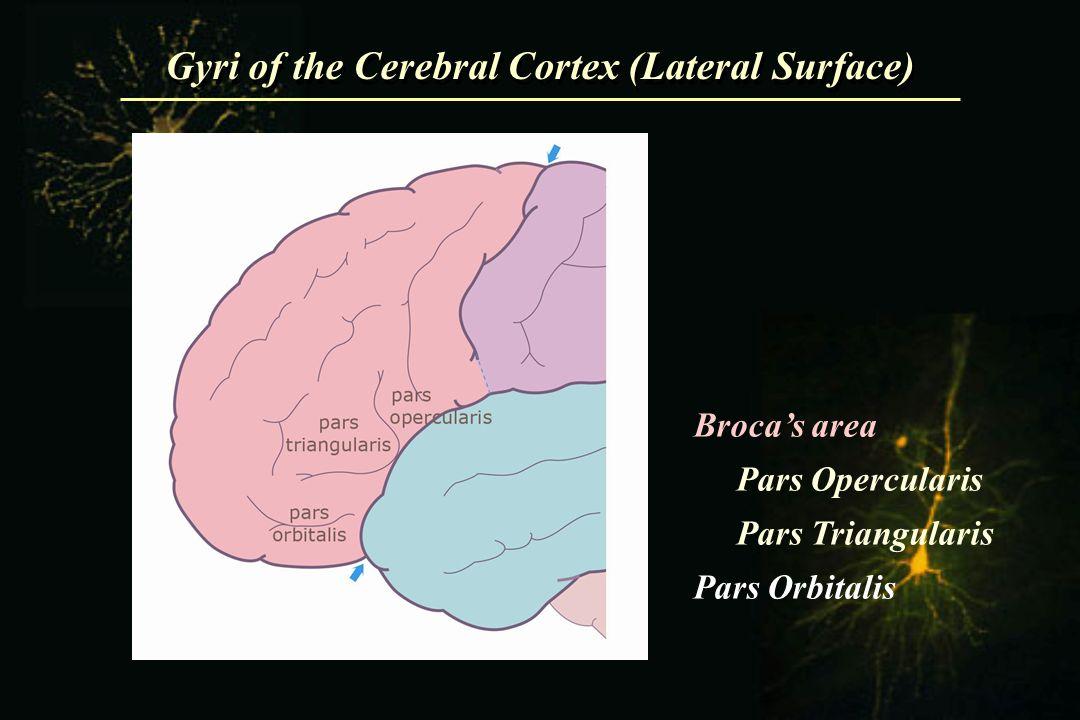Broca's area Pars Opercularis Pars Triangularis Pars Orbitalis