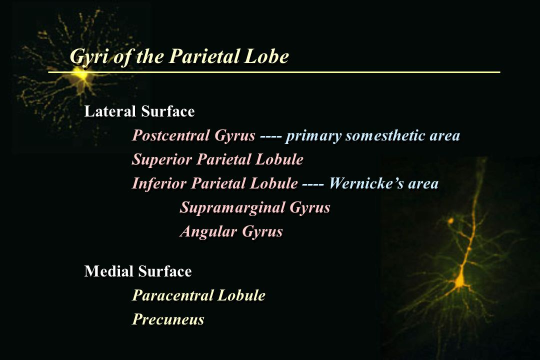 Gyri of the Parietal Lobe Lateral Surface Postcentral Gyrus ---- primary somesthetic area Superior Parietal Lobule Inferior Parietal Lobule ---- Werni