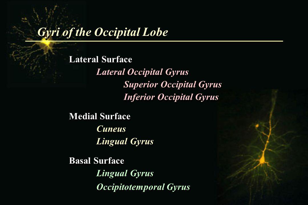 Gyri of the Occipital Lobe Lateral Surface Lateral Occipital Gyrus Superior Occipital Gyrus Inferior Occipital Gyrus Medial Surface Cuneus Lingual Gyr
