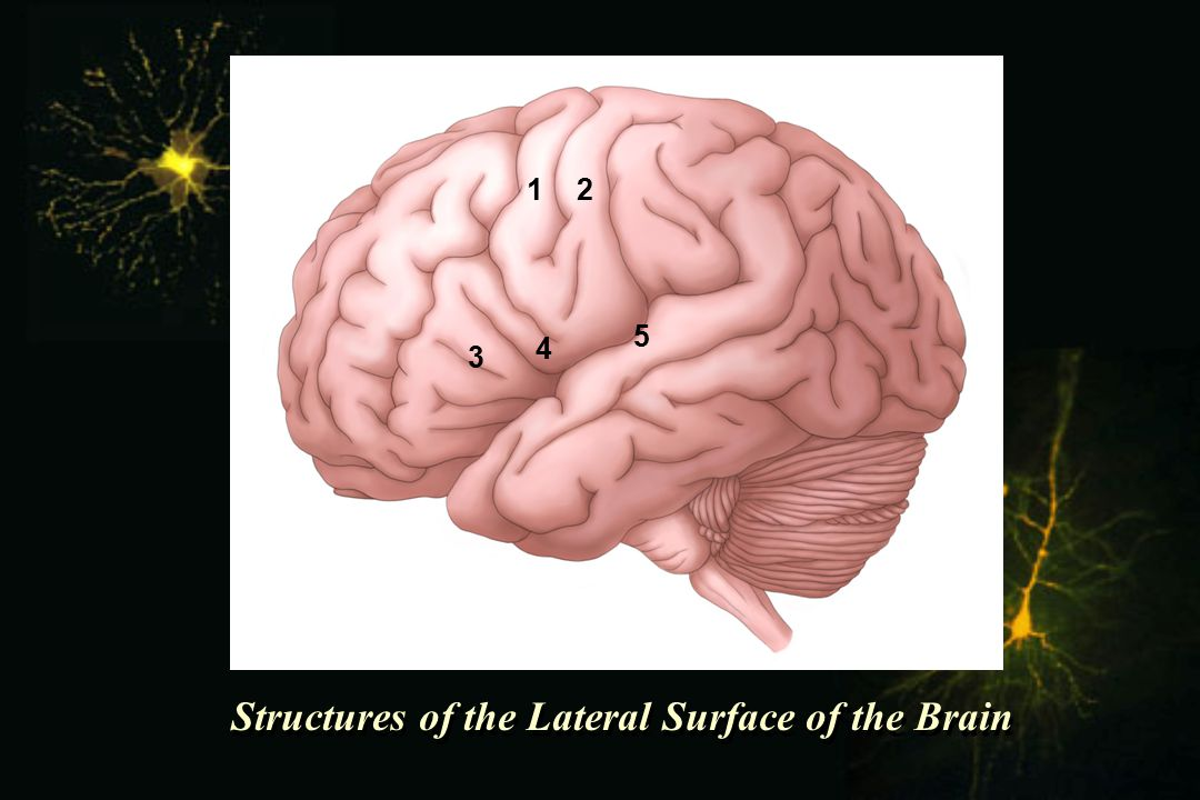 Structures of the Lateral Surface of the Brain 1 2 3 4 5