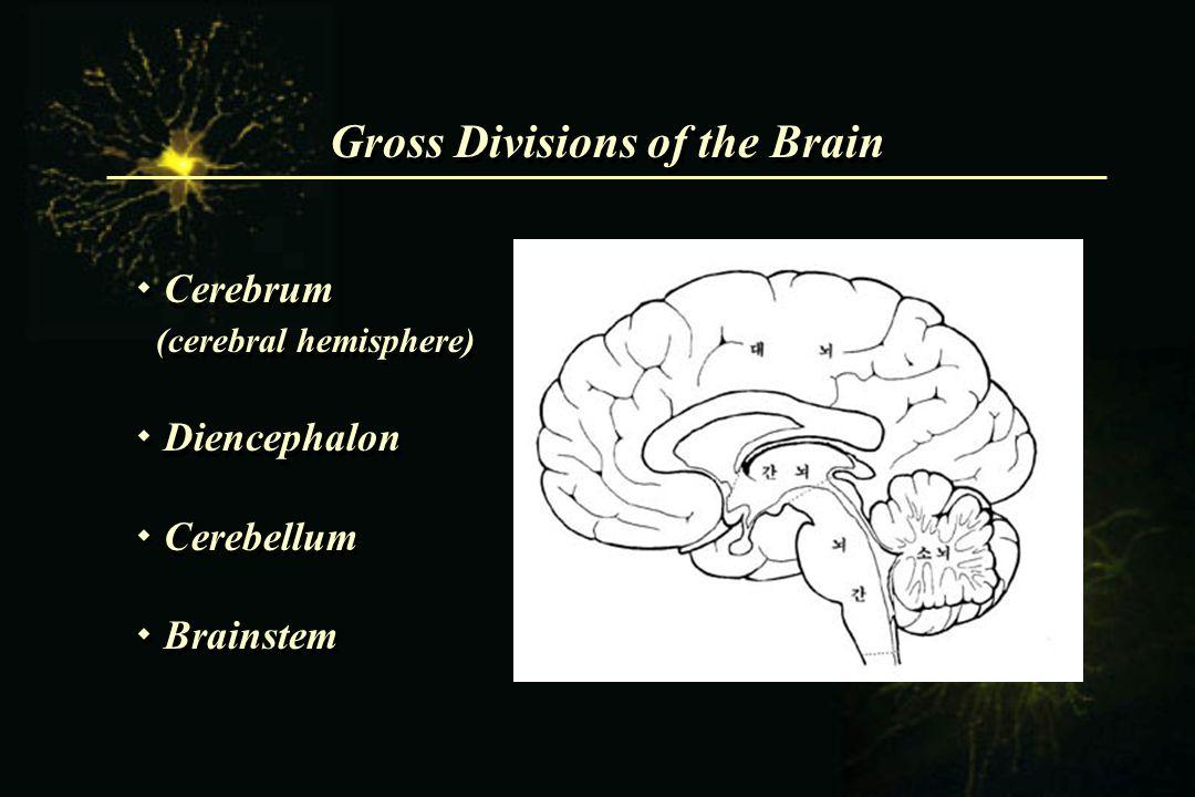 Gross Divisions of the Brain  Cerebrum (cerebral hemisphere)  Diencephalon  Cerebellum  Brainstem  Cerebrum (cerebral hemisphere)  Diencephalon