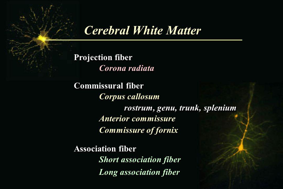 Cerebral White Matter Projection fiber Corona radiata Commissural fiber Corpus callosum rostrum, genu, trunk, splenium Anterior commissure Commissure