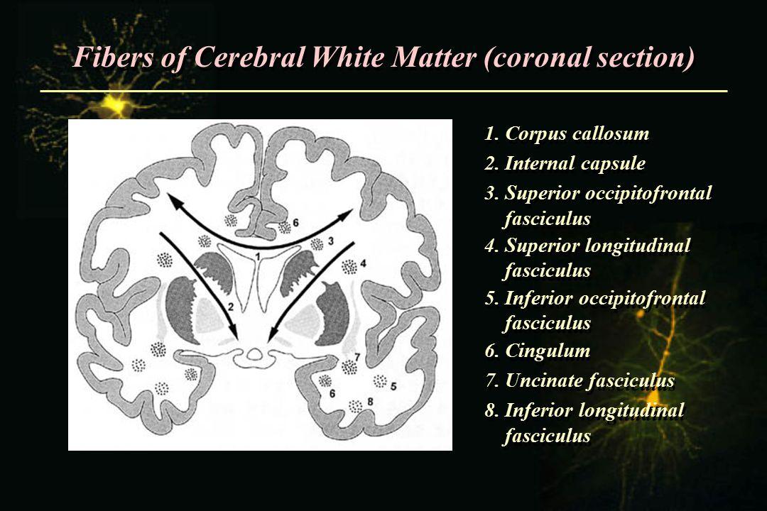 Fibers of Cerebral White Matter (coronal section) 1. Corpus callosum 2. Internal capsule 3. Superior occipitofrontal fasciculus 4. Superior longitudin