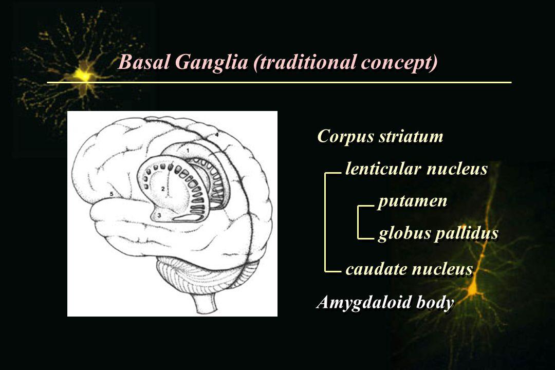 Basal Ganglia (traditional concept) Corpus striatum lenticular nucleus putamen globus pallidus caudate nucleus Amygdaloid body Corpus striatum lenticu