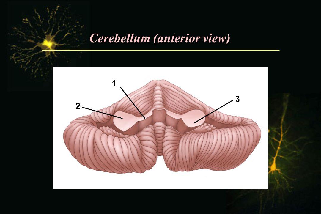 Cerebellum (anterior view) 1 2 3