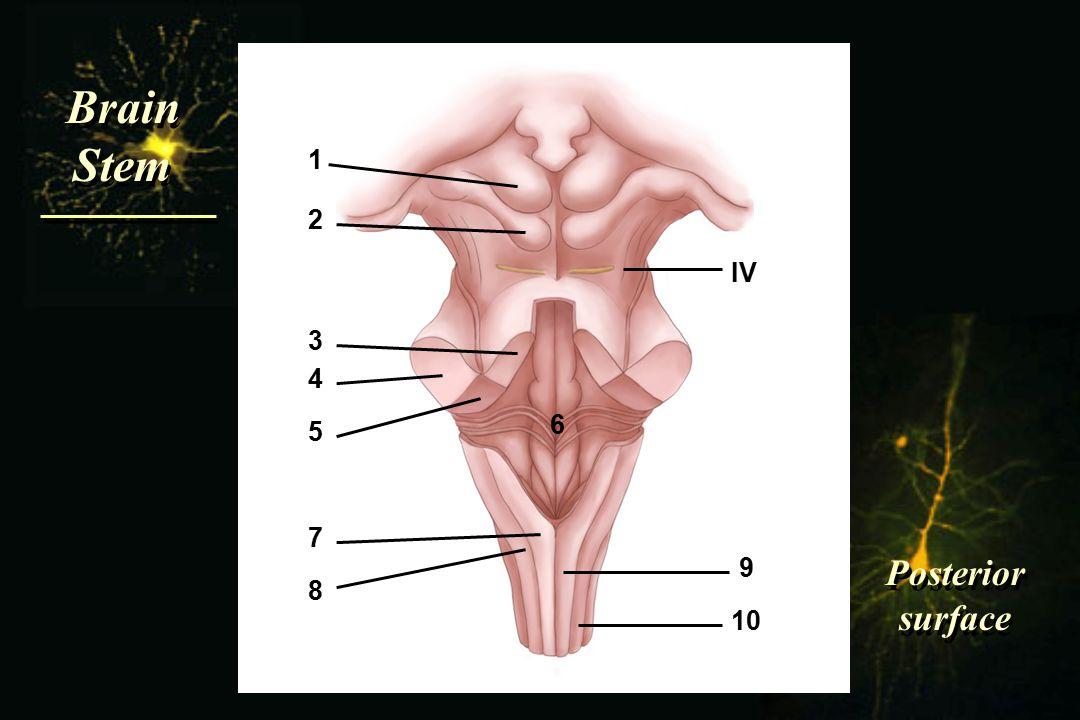 Brain Stem Brain Stem Posterior surface Posterior surface IV 1 2 3 4 5 6 7 8 9 10
