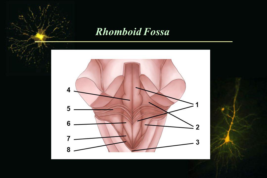 Rhomboid Fossa 4 5 6 7 8 1 2 3