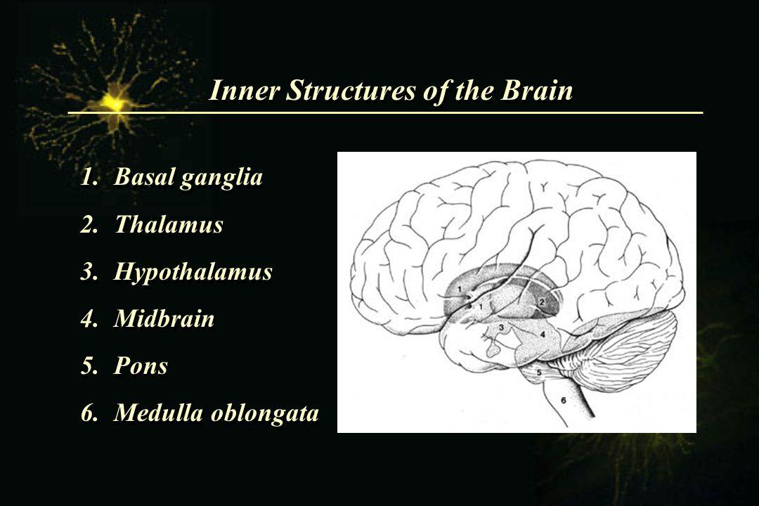 Inner Structures of the Brain 1.Basal ganglia 2.Thalamus 3.Hypothalamus 4.Midbrain 5.Pons 6.Medulla oblongata 1.Basal ganglia 2.Thalamus 3.Hypothalamu