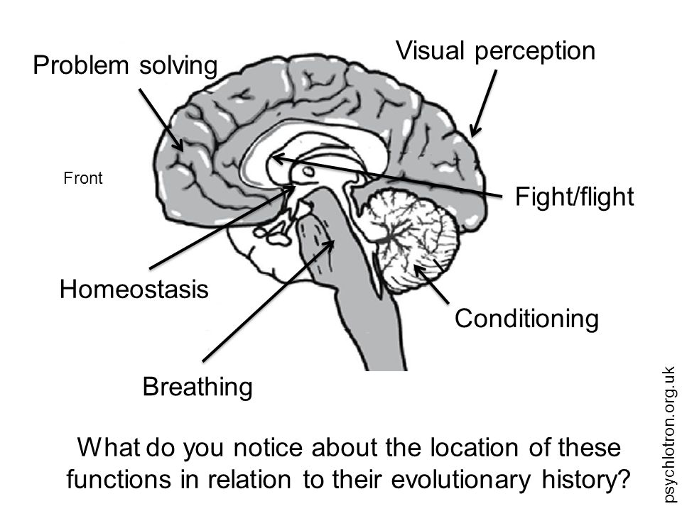 psychlotron.org.uk Evolution of the brain Brainstem – Basic life functions (eg breathing, heart) Cerebellum – Basic motor control, balance and some simple learning Cerebrum – Higher functions (emotion, complex perception, thinking)