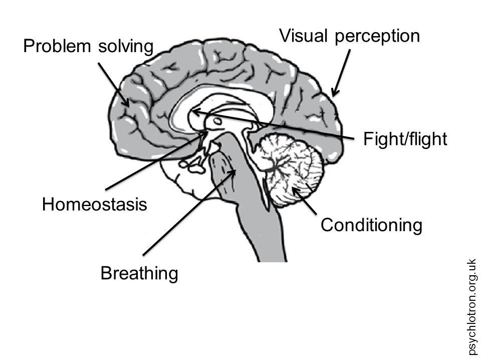 psychlotron.org.uk Brainstem Cerebellum Cerebrum
