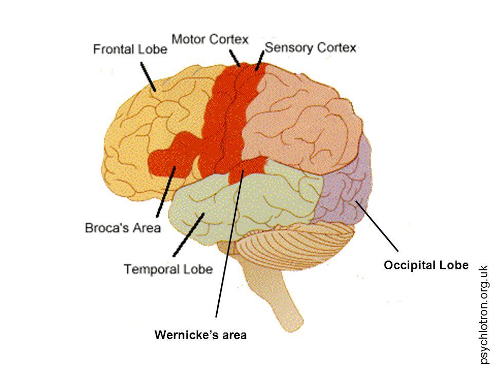 psychlotron.org.uk Occipital Lobe Wernicke's area