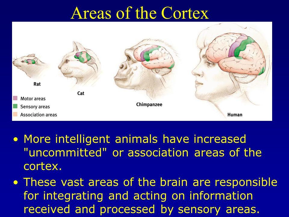 Parietal Lobe Somatosensory Cortex Parietal Lobe Receives info from multiple senses Contains primary somatosensory cortex  your skin sense of touch and temperature.