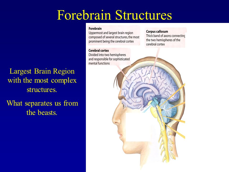 Forebrain Structures Largest Brain Region with the most complex structures.