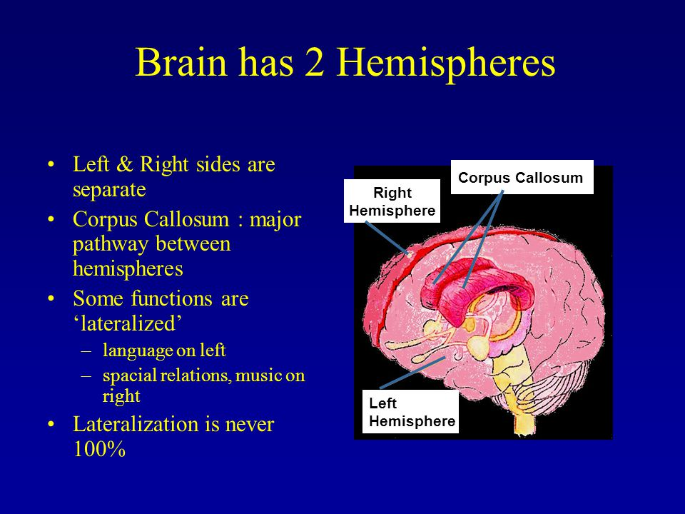 Left & Right sides are separate Corpus Callosum : major pathway between hemispheres Some functions are 'lateralized' –language on left –spacial relations, music on right Lateralization is never 100% Brain has 2 Hemispheres Left Hemisphere Corpus Callosum Right Hemisphere