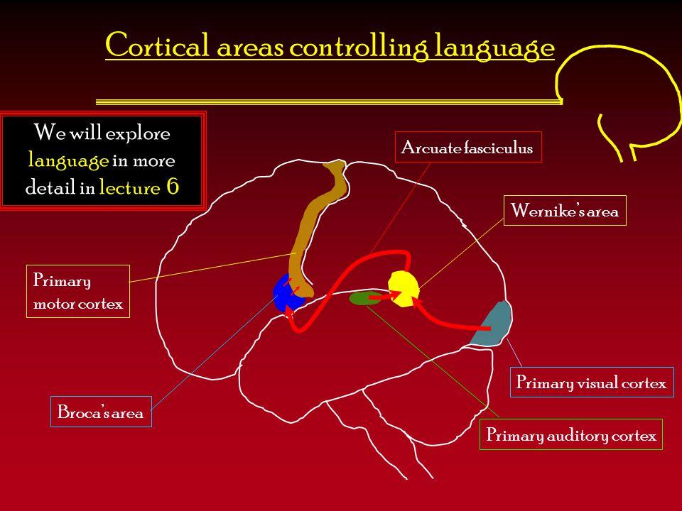 Cortical areas controlling language We will explore language in more detail in lecture 6 Broca's area Primary motor cortex Primary auditory cortex Pri