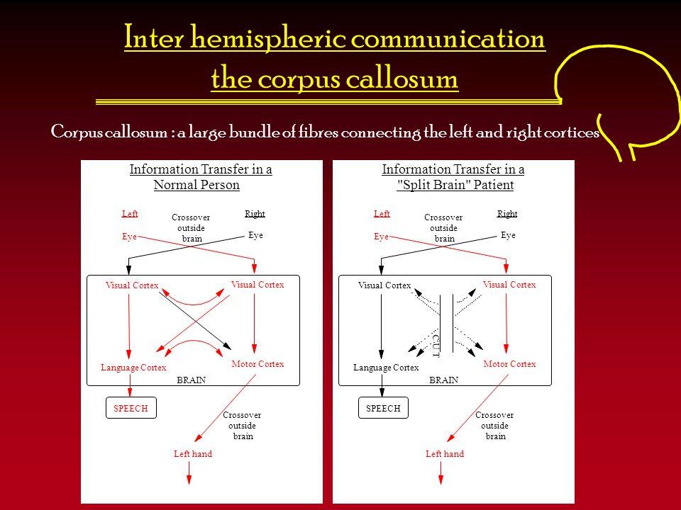 Inter hemispheric communication the corpus callosum LeftRight Eye Visual Cortex Language Cortex Motor Cortex SPEECH Left hand Crossover outside brain