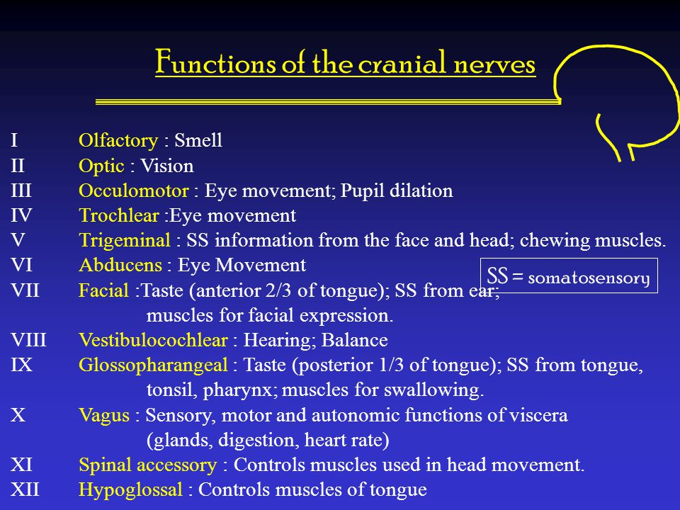 Functions of the cranial nerves I Olfactory : Smell II Optic : Vision III Occulomotor : Eye movement; Pupil dilation IV Trochlear :Eye movement V Trig