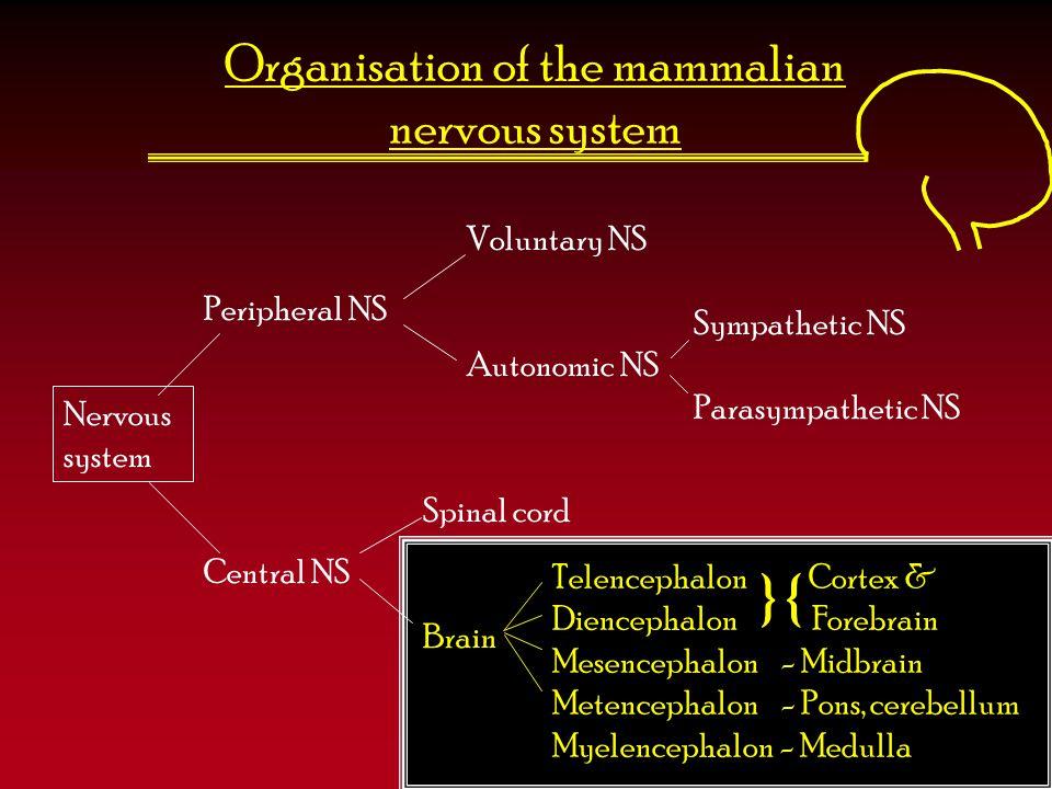 The divisions of the brain TelencephalonDiencephalonMesencephalonMetencephalonMyelencephalon CortexThalamusTectumPonsMedulla Basal gangliaHypothalamusTegmentumCerebellum Hippocampus Amygdala
