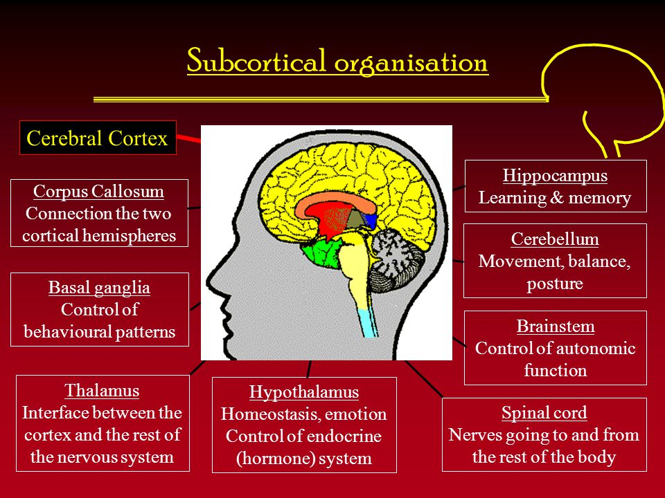 Subcortical organisation Corpus Callosum Connection the two cortical hemispheres Hippocampus Learning & memory Basal ganglia Control of behavioural pa